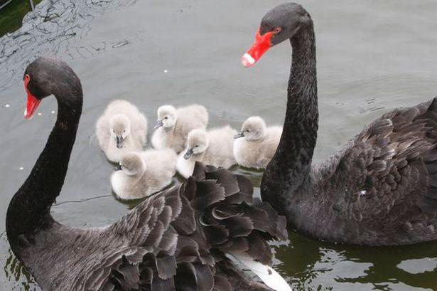 swans-733723605